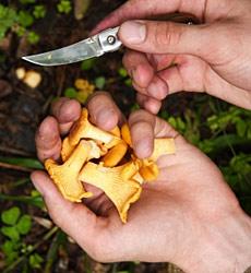 Essbare Pilze: Pfifferling