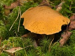 Essbare Pilze: Sandröhrling