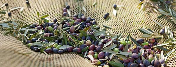 Olivenöl: Olivenernte