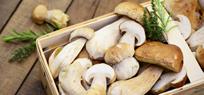 Pilze sammeln: Maronen, Steinpilze und Co.