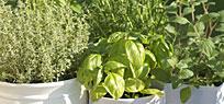 Im Frühling Kräuter pflanzen und ernten