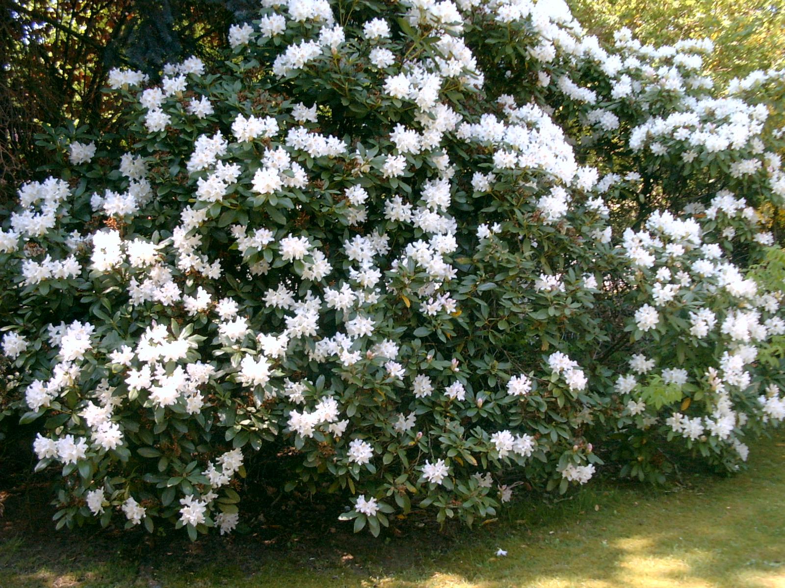 mein rhododendron bl ht seit 2 tagen haus garten forum. Black Bedroom Furniture Sets. Home Design Ideas