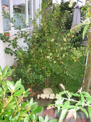 mandelbaum beschneiden haus garten forum. Black Bedroom Furniture Sets. Home Design Ideas