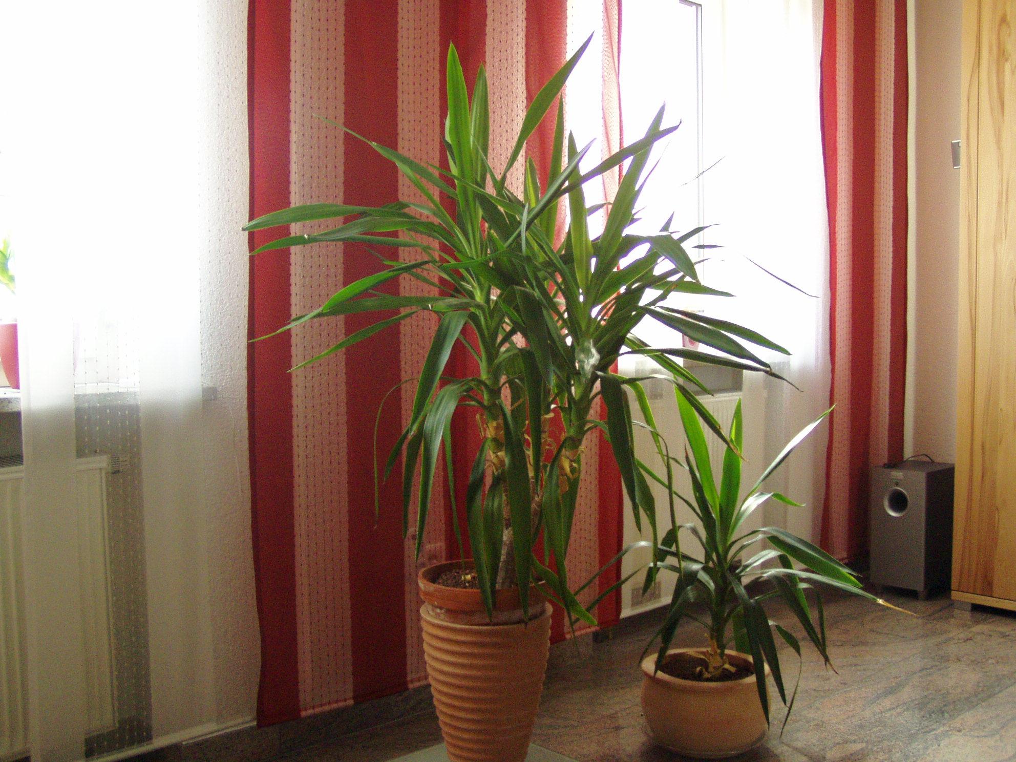 suche dringend hilfe f r meine yucca palme haus garten forum. Black Bedroom Furniture Sets. Home Design Ideas