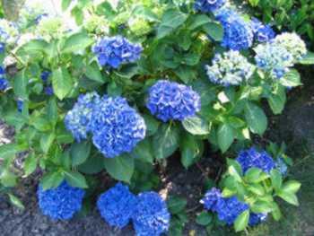 wie kriege ich meine hortensien wieder blau haus garten forum. Black Bedroom Furniture Sets. Home Design Ideas