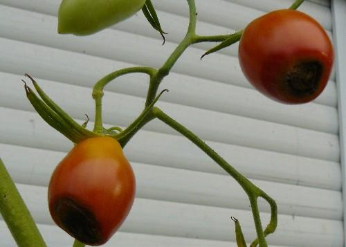 wer kennt sich mit tomatenkrankheiten aus haus garten. Black Bedroom Furniture Sets. Home Design Ideas
