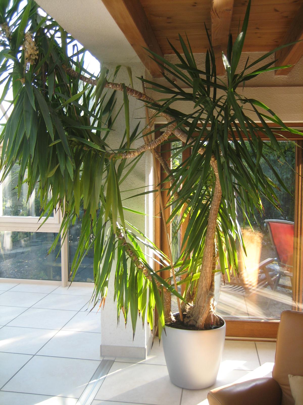 yukka palme umtopfen haus garten forum. Black Bedroom Furniture Sets. Home Design Ideas