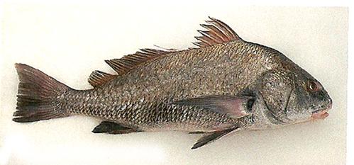 Adler Fisch
