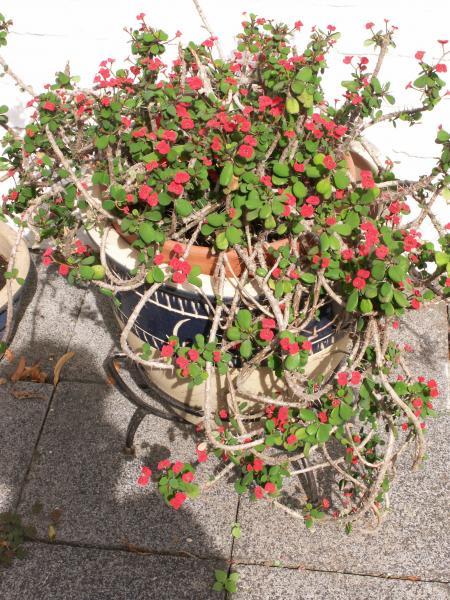 Immer Blühender Garten hoya carnosa zimmerpflanze kleiner blütenausschnitt aus unserem