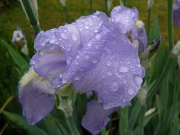 Iris nach dem Regen