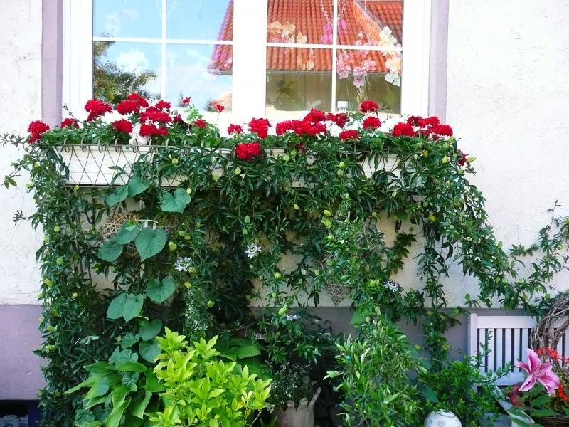 gesucht schnellwachsende pflanzen samen als sichtschutz. Black Bedroom Furniture Sets. Home Design Ideas