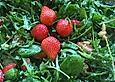 Sommerlicher Basilikum - Rauke - Salat mit Erdbeeren